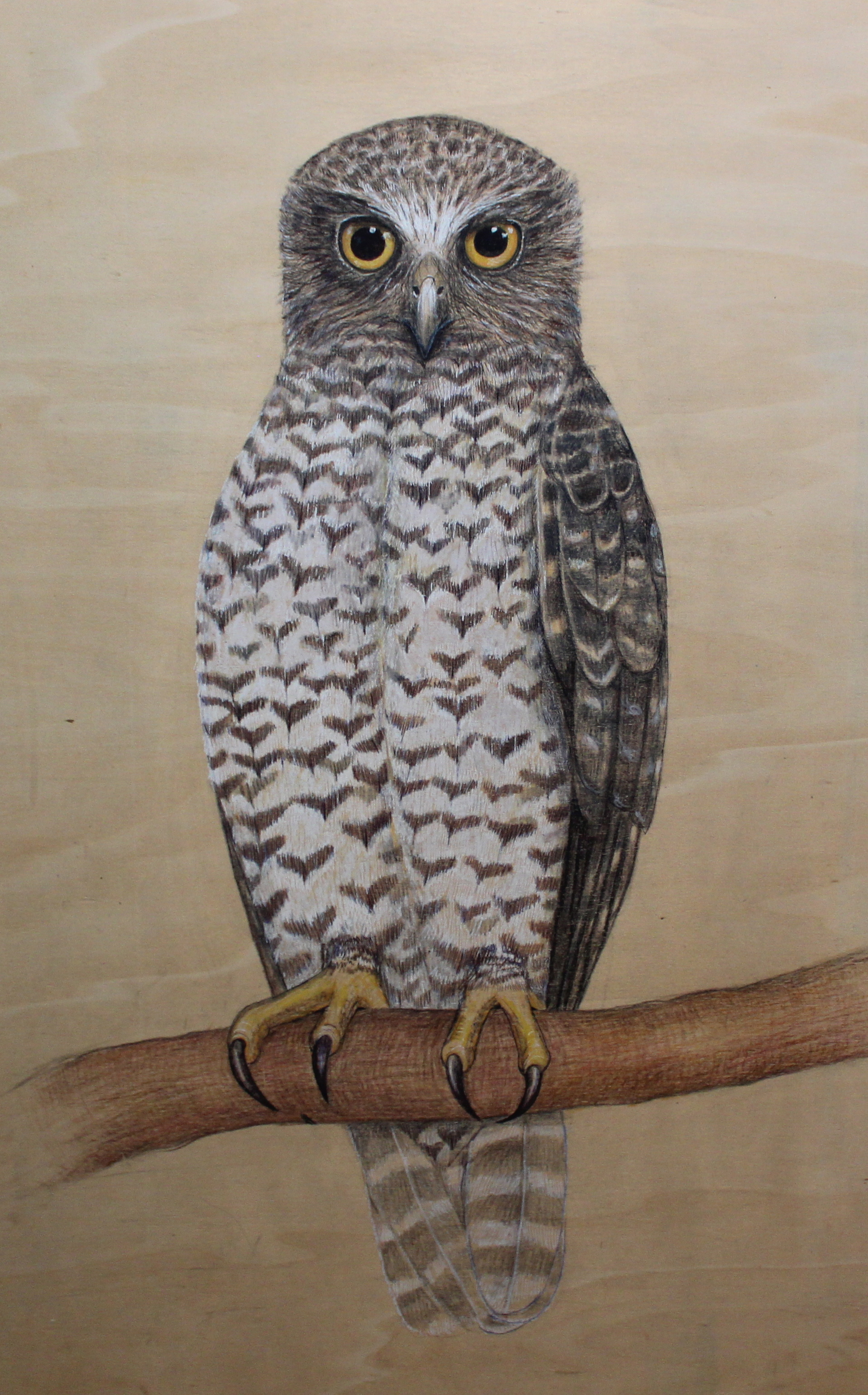 Owls Of South East Australia By Amy Davis Mid Mountains
